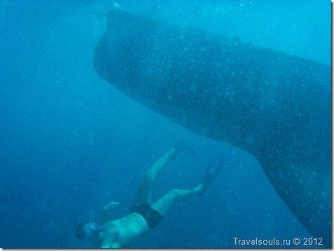 китовые акулы фото, купание с акулами, филиппины